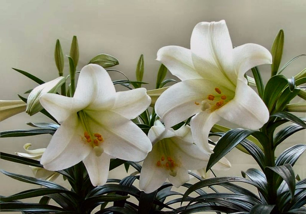 Easter Lilies White Flowers St Augustinesepiscopal Center At Uri